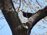 BLACK BIRD by picardroe, photography->birds gallery