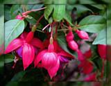 Fuchsia by trixxie17, photography->flowers gallery