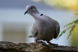 Eurasian Collared Dove by egggray, photography->birds gallery