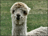 An Alpaca 'Allo !! by LynEve, Photography->Animals gallery
