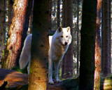 White Wolf by Ramad, Photography->Animals gallery
