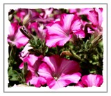Pink Petunias by LynEve, photography->flowers gallery