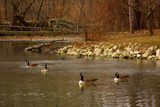 Honkers On St. Francis Pond by Jimbobedsel, Photography->Birds gallery