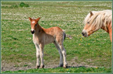 Zeeland Wild Horses 05, New Born Babe by corngrowth, photography->animals gallery