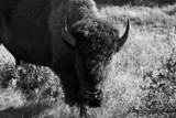 Medora Bison by renegaderider, photography->animals gallery