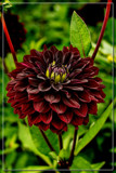 Dahlia Show 35 by corngrowth, photography->flowers gallery