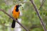Orange Backed Troupial by jeenie11, photography->birds gallery