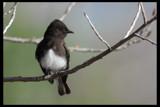 Phoebee by garrettparkinson, photography->birds gallery