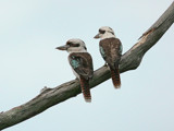 Courting Kookas. by trisbert, Photography->Birds gallery
