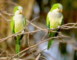 Monk Parakeets by jeenie11, photography->birds gallery