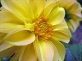 Blonde Bonanza by Hottrockin, Photography->Flowers gallery