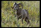 Bighorn Ram by garrettparkinson, photography->animals gallery