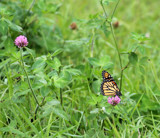 Monarch in the Clover by Pistos, photography->butterflies gallery