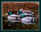 Mallard 2 by gerryp, Photography->Birds gallery