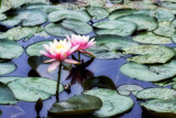 Pond Foofies by tigger3, photography->flowers gallery