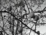 last apples by Marzena, contests->b/w challenge gallery