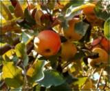 SunCrisp Apple by trixxie17, photography->food/drink gallery