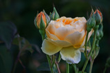 Rose & Buds by Ramad, photography->flowers gallery