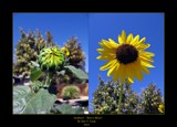 Sunflower Bud to Bloom by Roseman_Stan, photography->flowers gallery