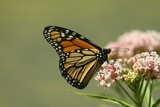Monarch 2010 by egggray, Photography->Butterflies gallery
