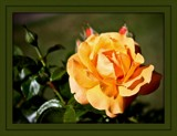 Rose in the sun by LynEve, photography->flowers gallery