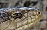 Iggy by Dunstickin, photography->reptiles/amphibians gallery