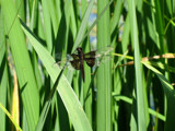 Dragonfly in the Grass by zippee, photography->insects/spiders gallery