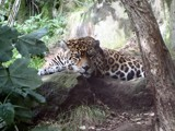 Lazy Jaguar by JambersB, Photography->Animals gallery