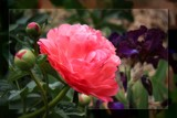 Paeony #2 by LynEve, photography->flowers gallery