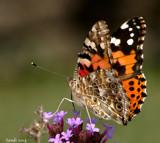 Calendar Flutterby by tigger3, photography->butterflies gallery
