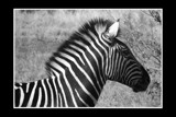 Black and White in B&W by Emmie9, Photography->Animals gallery