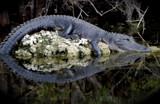 gator circle by Janromeo, Photography->Reptiles/amphibians gallery
