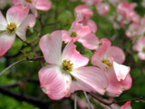Soft and Gentle Blossoms...of the Flowering Dogwood! by marilynjane, Photography->Flowers gallery