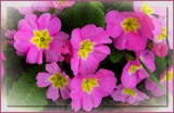 Polyanthus by LynEve, photography->flowers gallery