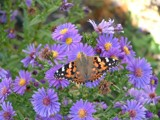 Painted Lady(resized) by Roses90034, Photography->Butterflies gallery