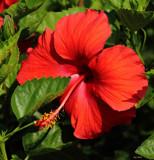 A Garden Beauty_The Hibiscus by tigger3, photography->flowers gallery