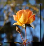 Rose In Winter by LynEve, photography->flowers gallery