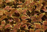 coleus by mike100, Photography->Gardens gallery