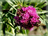 Air Station Prairie - Baldwins Ironweed by trixxie17, photography->flowers gallery
