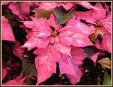 Pink Marbled Poinsettia by trixxie17, photography->flowers gallery