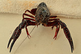 Live Crawfish up close by Fifthbeatle, photography->animals gallery