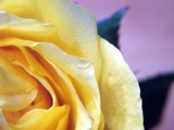 Yellow Rose by gizmo7, photography->flowers gallery