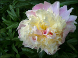 Paeony In The Afternoon by LynEve, photography->flowers gallery
