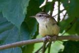 new carolina wren by photog024, Photography->Birds gallery