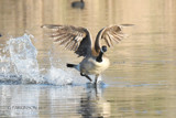On Golden Pond by garrettparkinson, photography->birds gallery
