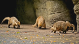 Coatis by Ramad, photography->animals gallery