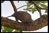 Spotted Dove by garrettparkinson, photography->birds gallery