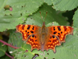 Comma by od0man, Photography->Butterflies gallery