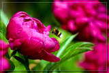 Peony Gets Visit by corngrowth, photography->macro gallery