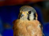 Kestrel Falcon 2 by gerryp, Photography->Birds gallery
